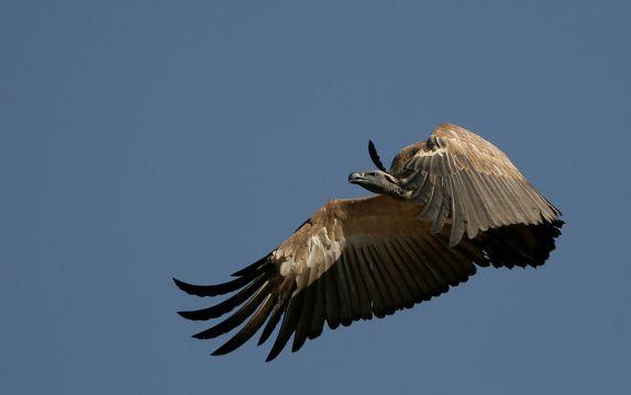 1024px-Cape_Vulture-001